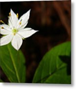 Starflower Metal Print by Christina Rollo