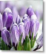 Striped Purple Crocuses In The Snow Metal Print by Sharon Talson