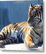 Sumatran Tiger 7d27276 Metal Print by Wingsdomain Art and Photography