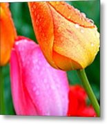 Sunday Shower Tulip Metal Print by Christy Phillips