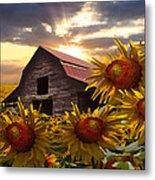 Sunflower Dance Metal Print by Debra and Dave Vanderlaan