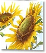 Sunflower Perspective Metal Print by Kerri Mortenson