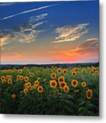 Sunflowers In The Evening Metal Print by Bill Wakeley