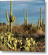 Sunset On The Saguaros Metal Print by Sandra Bronstein