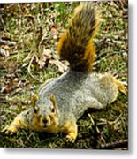Surprise Mister Squirrel Metal Print by Shawna Rowe