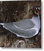 Swallow-tailed Gull And Chick Calling Metal Print by Tui De Roy