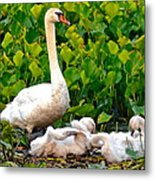Swan Song Metal Print by Frozen in Time Fine Art Photography