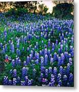 Texas Bluebonnet Field Metal Print by Inge Johnsson