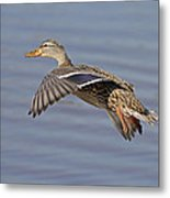The Approach Glide Metal Print by Jim Nelson
