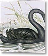 The Black Swan Metal Print by John Gould