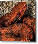 The Florida Cottonmouth Metal Print by JC Findley
