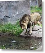 The Lion In Winter Metal Print by Helen Fern