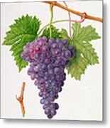 The Poonah Grape Metal Print by William Hooker