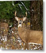 The Rutting Whitetail Buck Metal Print by Thomas Young