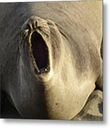 The Singing Seal Metal Print by Bob Christopher