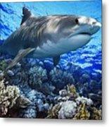 Tiger Shark Galeocerdo Cuvier Metal Print by Owen Bell