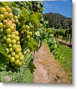 Vineyard Grapes Metal Print by Justin Woodhouse
