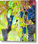 Vineyard Grapes Ready For Harvest Metal Print by Susan Schmitz