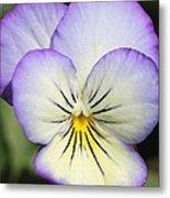 Viola Named Sorbet Lemon Blueberry Swirl Metal Print by J McCombie