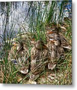 Waddle Of Ducks Metal Print by Trever Miller