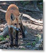 Wary Fox Metal Print by Bianca Nadeau