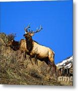 Watchful Bull Metal Print by Mike  Dawson