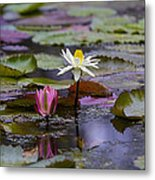 Water Lillies9 Metal Print by Charles Warren