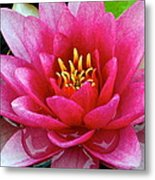 Water Lilly Metal Print by Frozen in Time Fine Art Photography