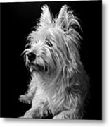 Westie Metal Print by Catherine Reusch  Daley