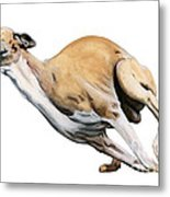 Whippet In The Wind Metal Print by Liane Weyers