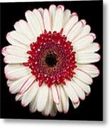 White And Red Gerbera Daisy Metal Print by Adam Romanowicz