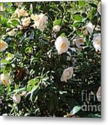 White Camellias Metal Print by Carol Groenen