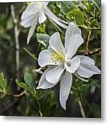 White Columbine Metal Print by Aaron Spong