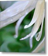 White Daisy Petals Raindrops Metal Print by Jennie Marie Schell