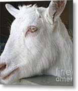 White Goat Metal Print by Ann Horn