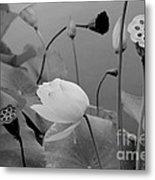 White Lotus Flowers In Balboa Park San Diego Metal Print by Julia Hiebaum