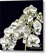 White Orchids Metal Print by Tom Prendergast