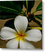White Plumeria 2 Metal Print by Cheryl Young