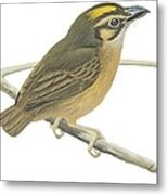 White Throated Spadebill Metal Print by Anonymous
