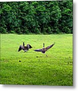 Wild Goose Chase Metal Print by Kristin Elmquist
