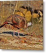 Wild Turkey Metal Print by Al Powell Photography USA