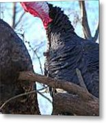 Wild Turkey Gobbling Metal Print by Thea Wolff