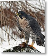 Winter Hunt Peregrine Falcon In The Snow Metal Print by Inspired Nature Photography Fine Art Photography