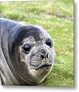 Woeful Weaner Metal Print by Ginny Barklow