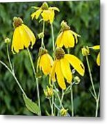 Yellow Cone Flowers Rudbeckia Metal Print by Rich Franco