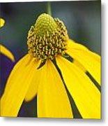 Yellow Coneflower Rudbeckia Metal Print by Rich Franco