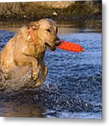 Yellow Labrador Metal Print by Linda Freshwaters Arndt