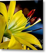 Yellow Lily Anthers Metal Print by Robert Bales