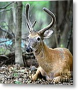 Young Buck At Rest Metal Print by Paul Ward