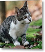 Young Manx Cat Metal Print by James L. Amos